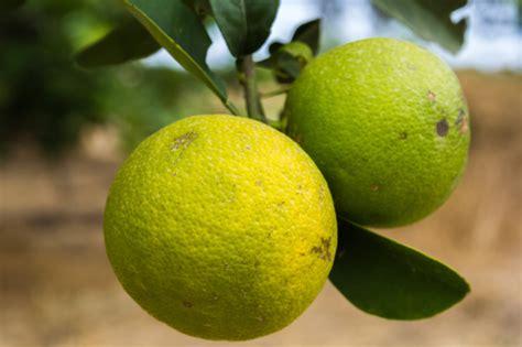 pianta limone in vaso cura curare la pianta di limone pollicegreen