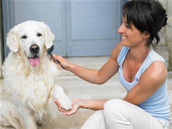 how to stop golden retriever from shedding how to groom a golden retriever grooms golden retrievers and articles