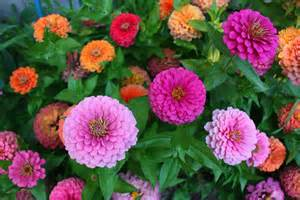 pictures of zinnias flowers beautiful flowers