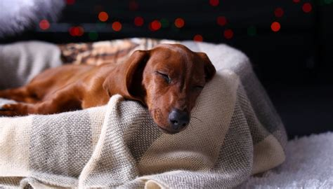 treatment for kennel cough in dogs 8 remedies for s kennel cough top tips
