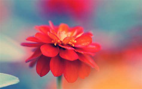 wallpaper flower macro red mao flower macro wallpapers red mao flower macro