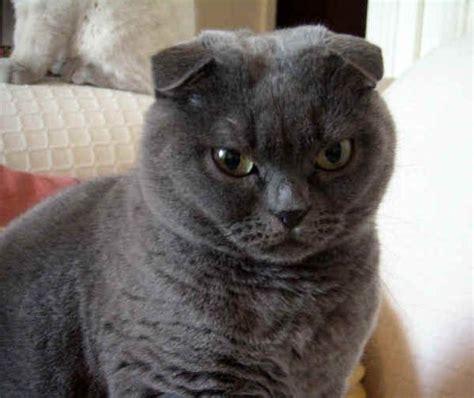 gatto da appartamento razza gatto razze