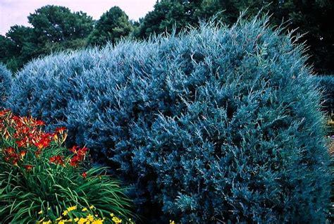 wichita blue juniper tree  tree center