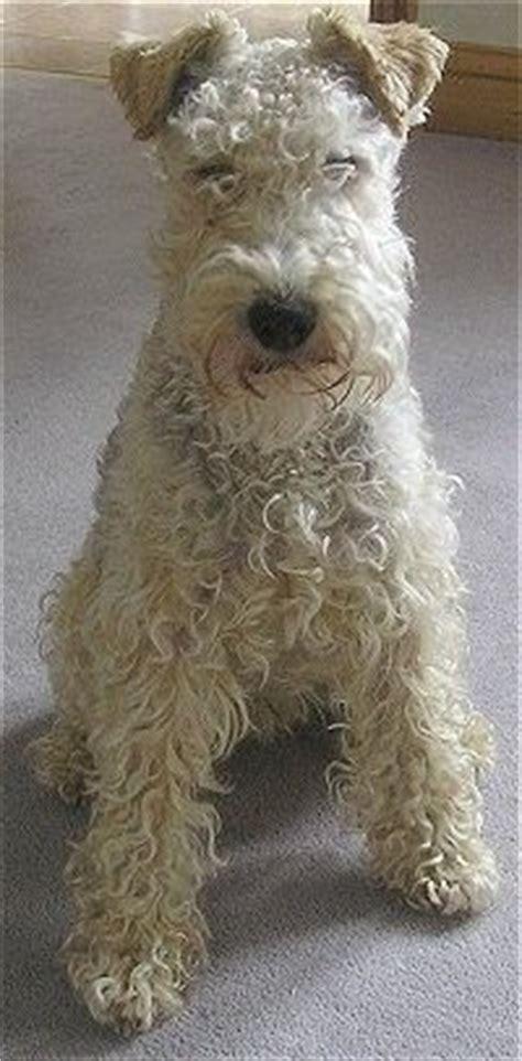 photos of lakeland terriors hair styles 17 best images about puppies on pinterest irish puppys
