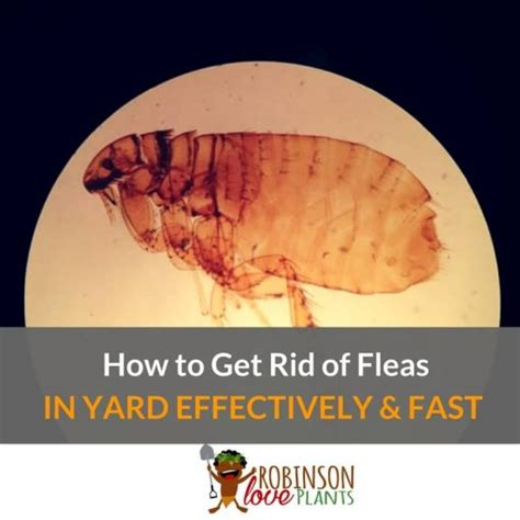 how to get rid of fleas on pest guides archives robinson