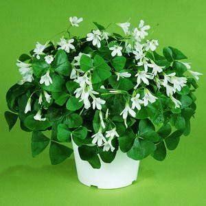 three leaf clover plant houseplant sos the four leaf clover