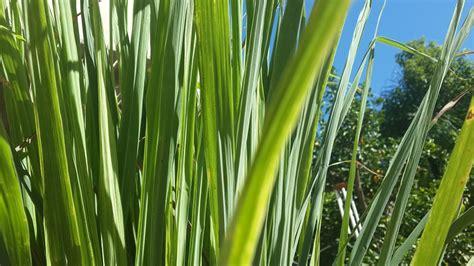 lemongrass color free photo lemon grass herb aroma green free image