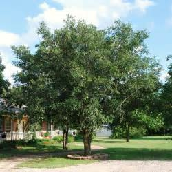 Tree Tx Live Oak Tree Dallas Treeland Nursery