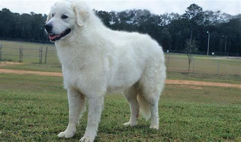 kuvasz puppy kuvasz breed information