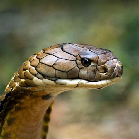 king cobra images indian king cobra snake wallpaper 50 images