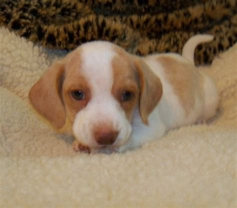 beagle puppies for sale in missouri best 25 beagles for sale ideas on beagle dogs for sale beagle pups for