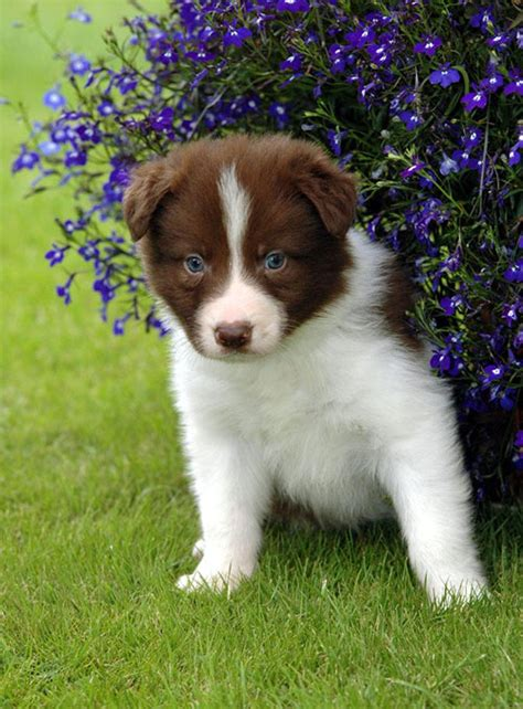 brown border collie puppies puppy dogs brown border collie puppies