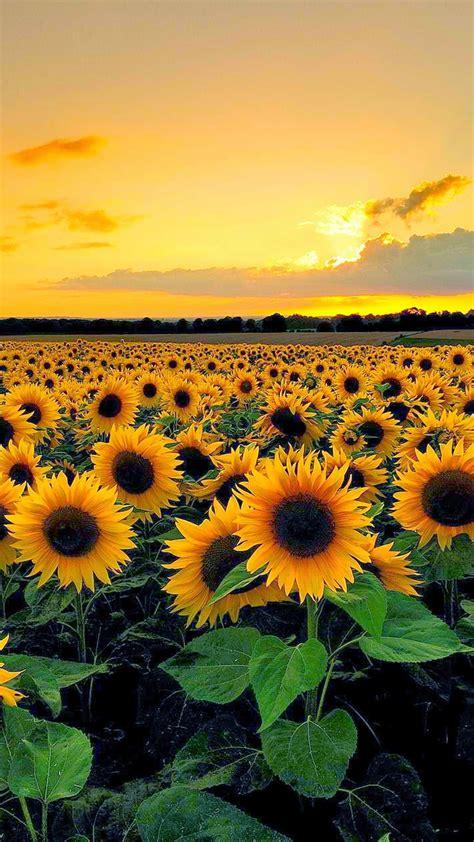 wallpaper for iphone sunflower sunset view from sunflower field