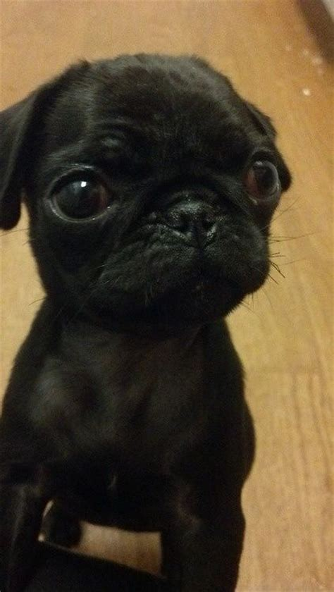 where can i buy pug puppies pug i can give you quot cashback quot from your purchases