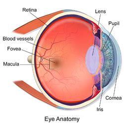 macula of retina wikipedia