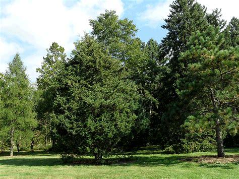 cedar trees juniperus virginiana eastern cedar tree photo gallery