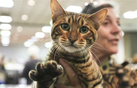 International Cat Show: Toyger breeds, talking Cheshire