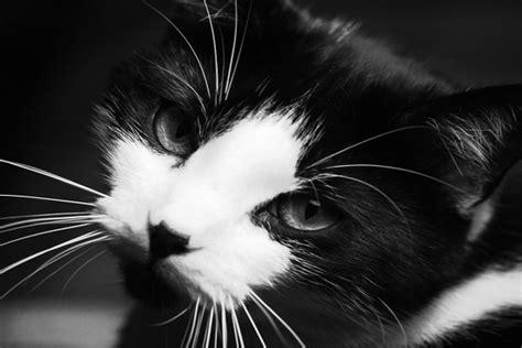 imagenes a blanco y negro de gatos gato en blanco y negro 11082