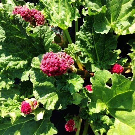 pianta fiore rosso alla scoperta della pianta di rabarbaro 232 fatta