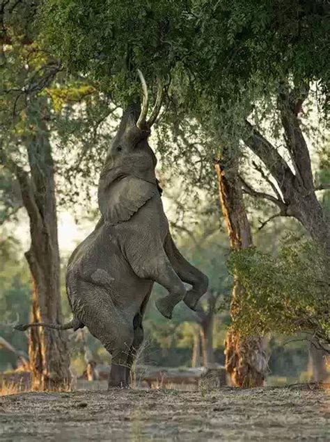 Elephant Standing On Hind Legs by Best 28 Elephants Images On Pinterest Animals And Pets