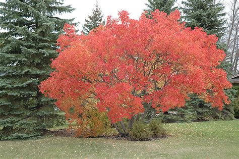 amur maple acer ginnala in winnipeg headingley oak bluff manitoba mb at shelmerdine garden center
