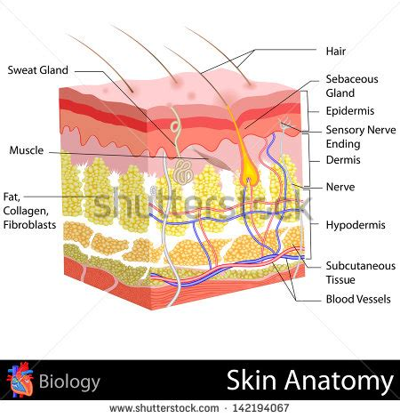 skin diagram human skin cells labeled