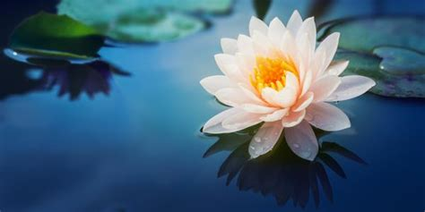 fior di loto foto lo straordinario ritorno dei fiori di loto in thailandia
