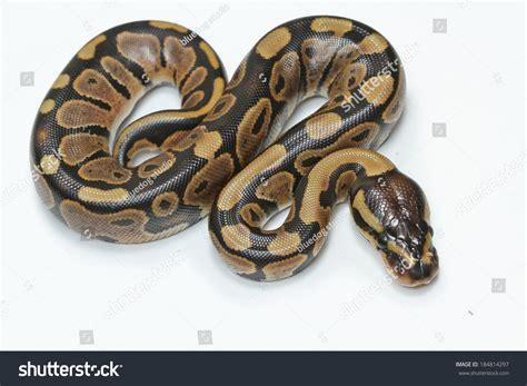 python image python snake stock photo 184814297