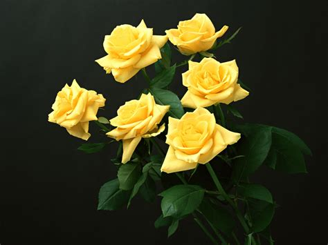 rose flower images yellow rose flowers flower hd wallpapers images
