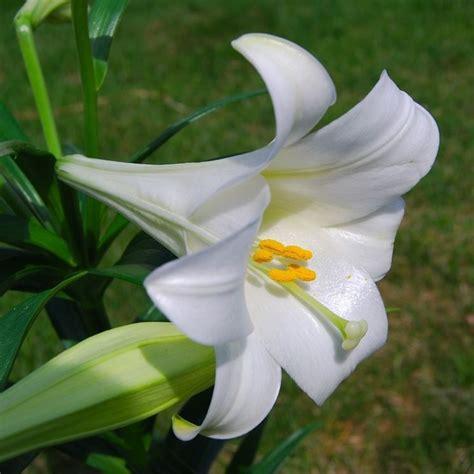 riproduzione fiore fresia freesia bulbi caratteristiche della fresia
