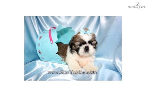 shih tzu for sale los angeles shih tzu puppies for sale for sale in los angeles california breeds picture