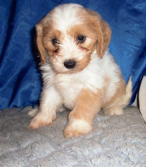 cavachon shih tzu mix breeder small akc puppies for sale in kansas s precious puppies