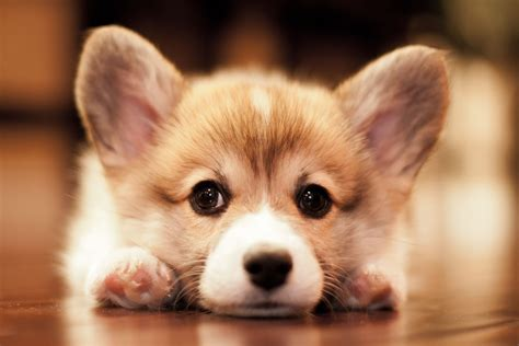 corgi puppy noble hearts pembroke corgi breeder puppies for sale