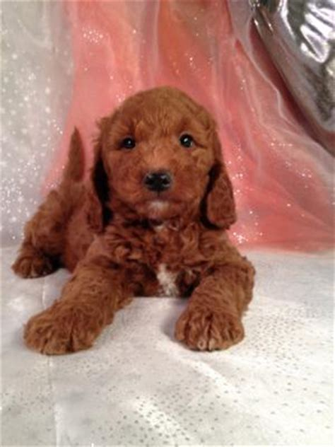 Te Bouwen En Wonen Mini Goldendoodle For Sale Iowa