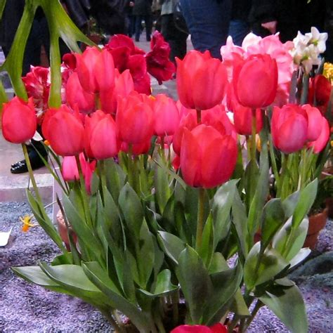 plant wordless wednesday pots of tulips minding my p s with q