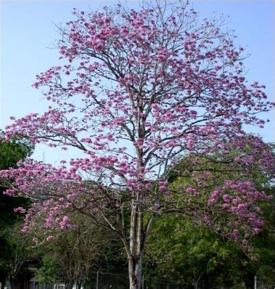 Tabebuia Rosea tabebuia rosea www pixshark images galleries with