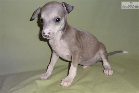 greyhound puppy price italian greyhound puppy for sale near springfield missouri e0e164f2 5a01