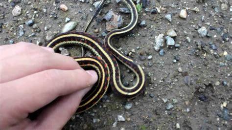 Garter Snake As Pet Herping Garter Snake Pet Store Visit 600 Sub Special