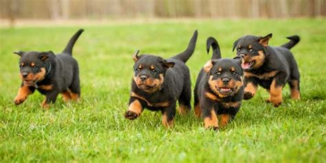 rottweiler with cropped ears get to the rottweiler ready and friendly