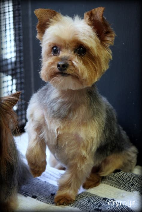 korean yorkie haircuts yorkie terrier dog grooming haircut pictures cryrolfe