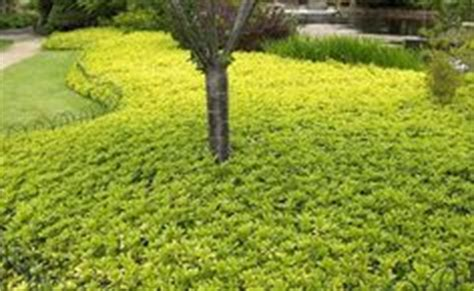 ground cover on pinterest lawn alternative lawn and grasses