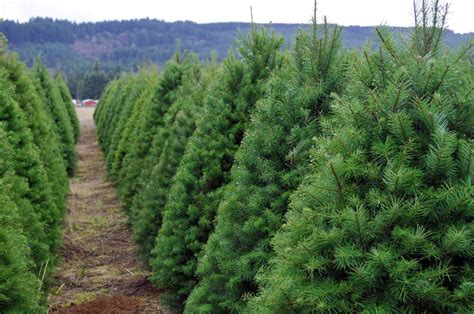 artificial vs real christmas trees find out which is best