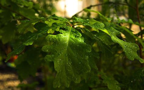 wallpaper daun anggur oak embun daun wallpaper tanaman alam alam wallpaper