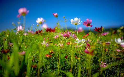 desktop gratis fiori sfondi hd natura fiori di primavera sfondi hd gratis