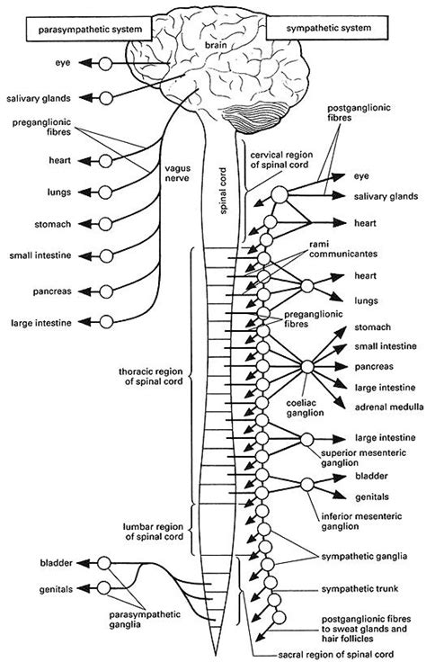 anatomy and physiology coloring workbook answers page 98 autonomic nervous system coloring page coloring home