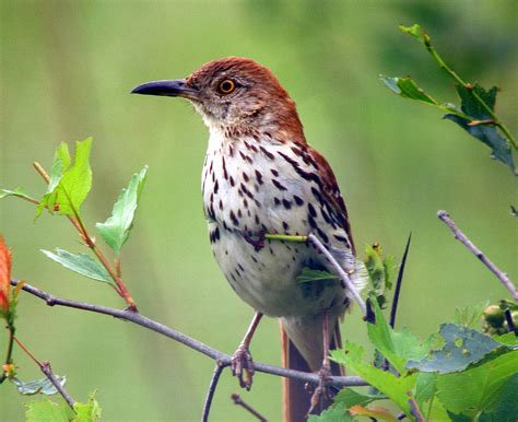 birds brown thrasher