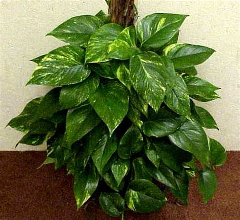 where to put plants in house green acres pothos