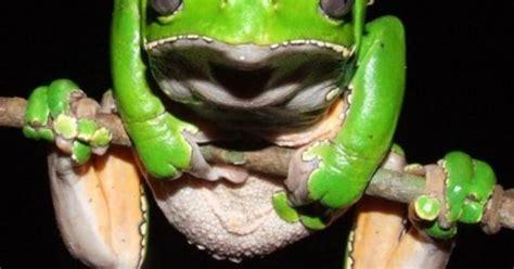 Frog Venom Detox by Kambo Frog The Phyllomedusa Bicolor Kambo Cleanse