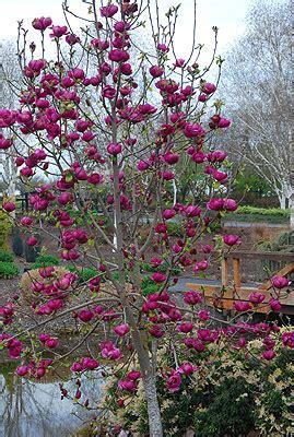 magnolia black tulip   plants garden supplies