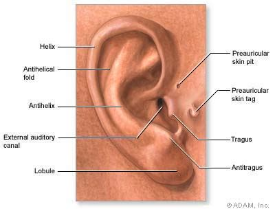 anatomy of the outer ear diagram the new york times gt health gt image gt findings